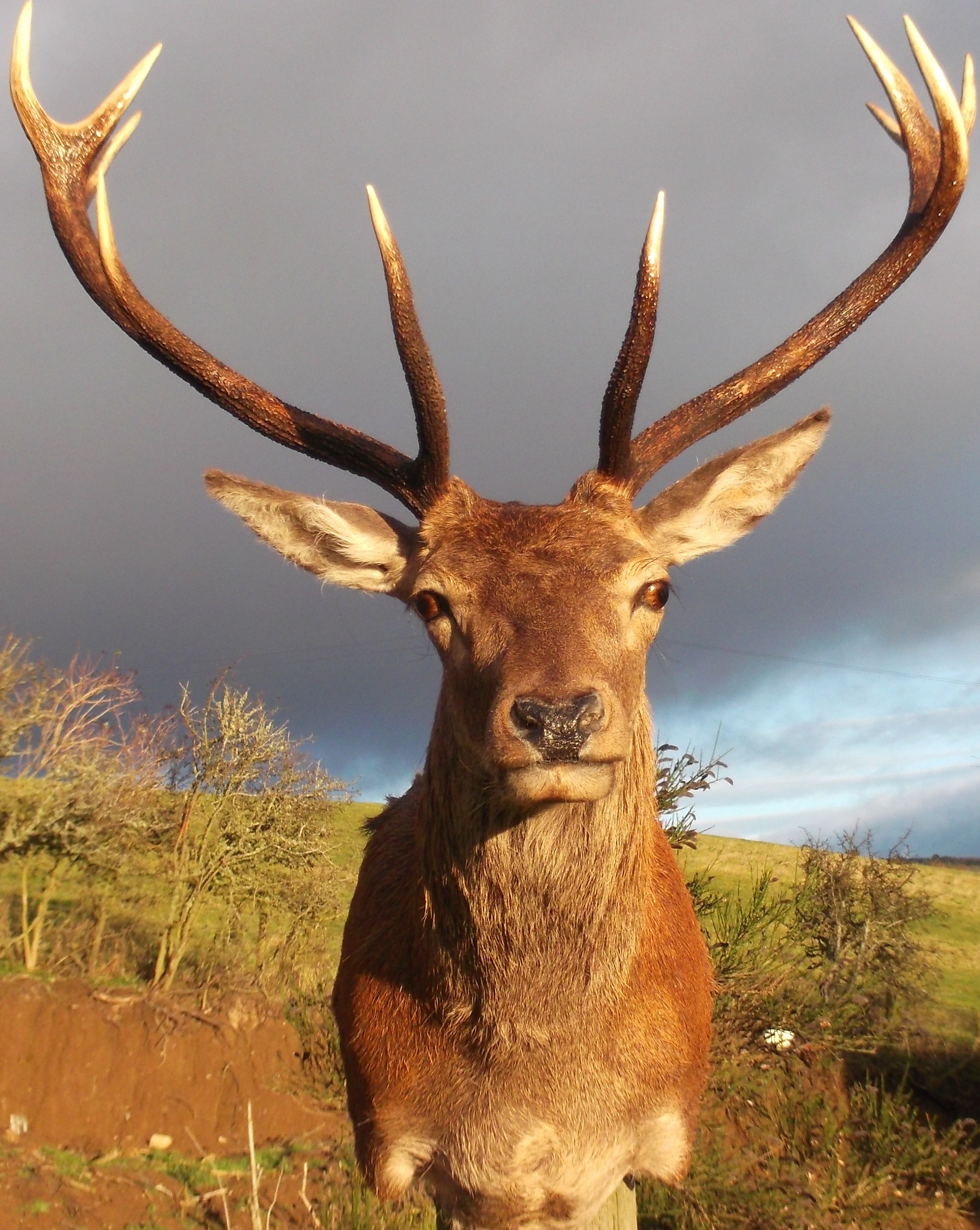 Stags Head Home Decor Red Deer Stag Taxidermy Antler Head Mount Sold Sold Sold